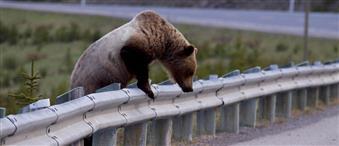 Και άλλη αρκούδα νεκρή σε τροχαίο