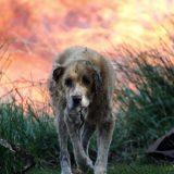 Πρόγραμμα υιοθεσίας αδέσποτων ζώων που τραυματίστηκαν στη φωτιά στην Αττική