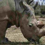 Το τέλος ενός είδους: Πέθανε ο τελευταίος αρσενικός βόρειος λευκός ρινόκερος του κόσμου!