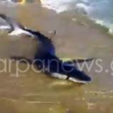 Σοκαριστικό βίντεο: Καρχαρίας βγήκε σε παραλία των Χανίων