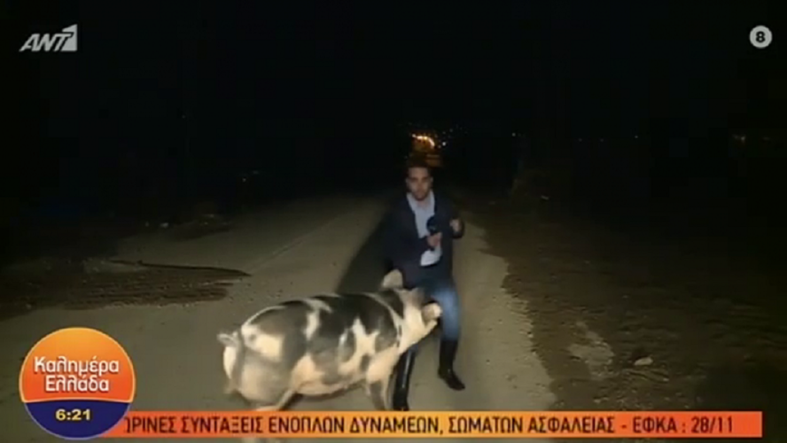 Καλημέρα Ελλάδα: Γουρούνι κυνηγούσε τον ρεπόρτερ του Παπαδάκη!