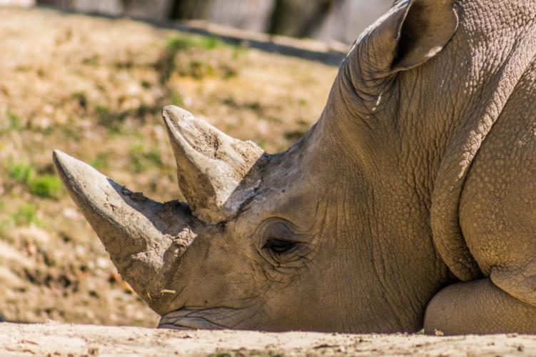 Πέθανε ο τελευταίος λευκός ρινόκερος – Εξαφανίστηκε το είδος στη Μαλαισία
