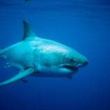 Γαλλία: Ανθρώπινα λείψανα εντοπίστηκαν στο στομάχι ενός καρχαρία - τίγρη