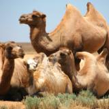 Χάος στην Αυστραλία: Θανατώνουν 10.000 καμήλες γιατί πίνουν πολύ νερό