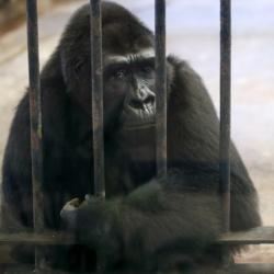 Θετικοί στον κορωνοϊό γορίλες σε ζωολογικό κήπο - Ερευνούν πώς μολύνθηκαν